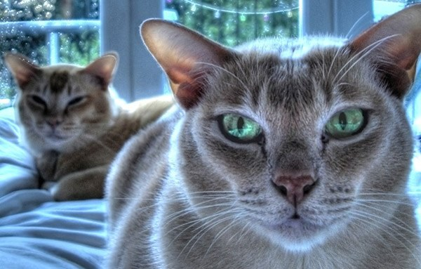 Заболевания органов зрения могут привести к полной слепоте кошки