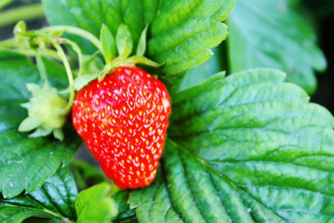 What a taste beardless garden strawberry