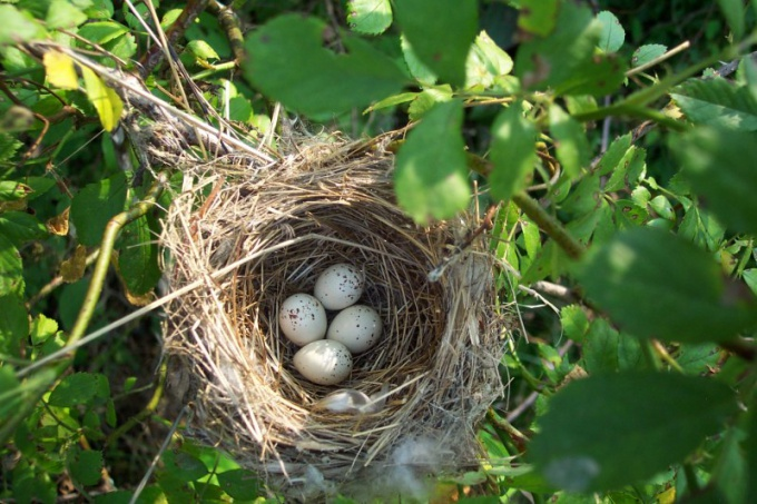 how magpies make their nests