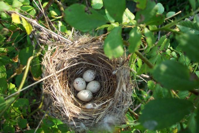 как сороки вьют гнезда