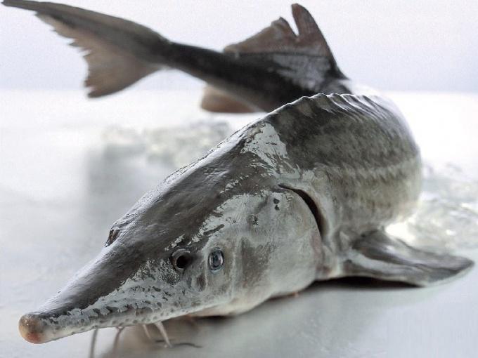 Какая рыба считается царской