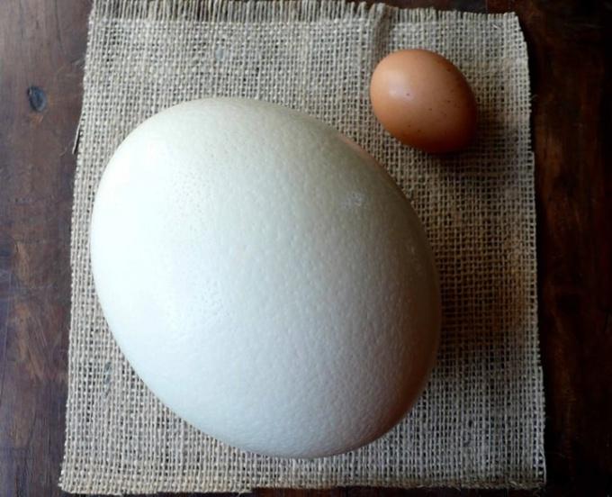 Как правильно вскрыть и приготовить страусиное яйцо