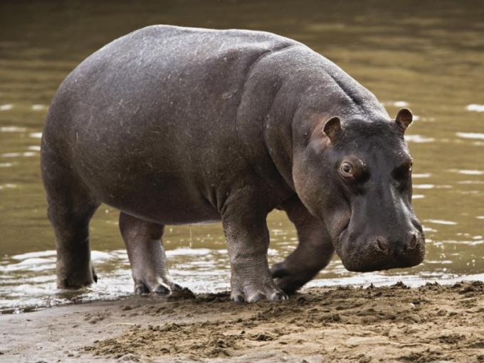 Бегемот кажется толстым и неповоротливым
