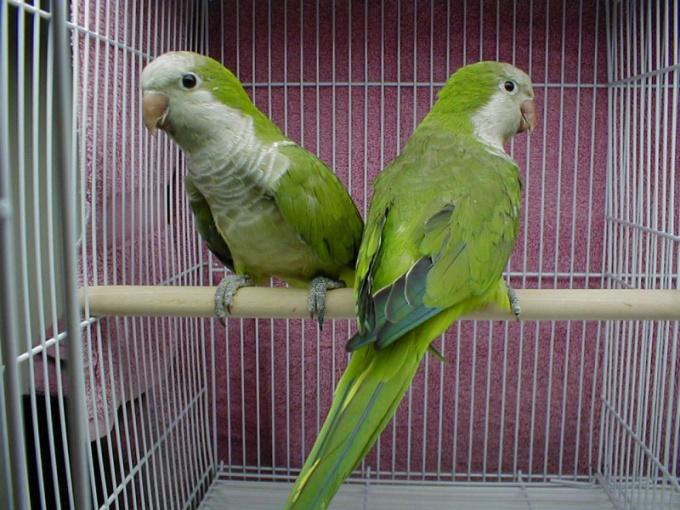 приручить птиц садиться в клетку