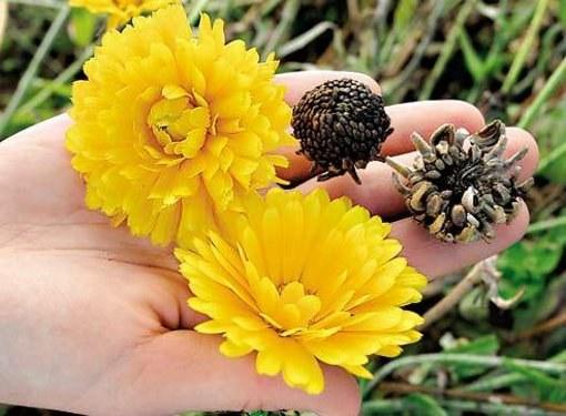 Где покупают семена цветов