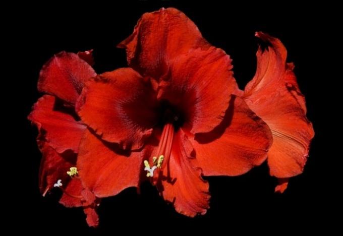 Китайская роза - не самый лучший выбор для домашнего цветка