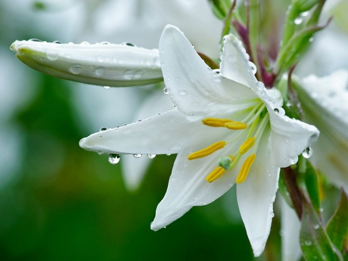 Properties and applications of flowers lilies