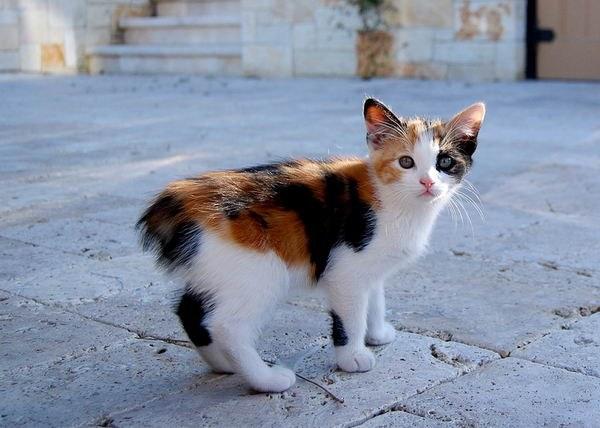 Котенок породы мэнкс