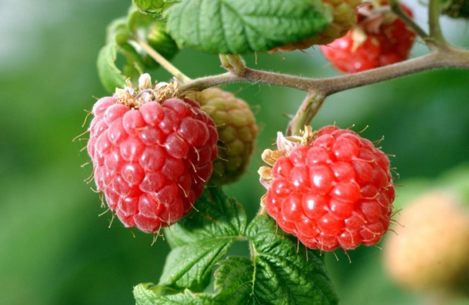 Medicinal properties of raspberry root