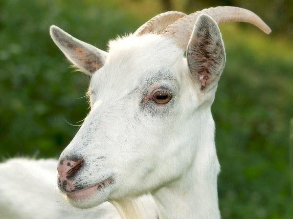 Коза-любимица