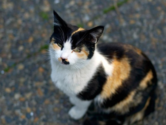 Why cats are tri-color , and no cats?