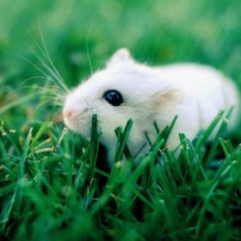 Hamster on a walk