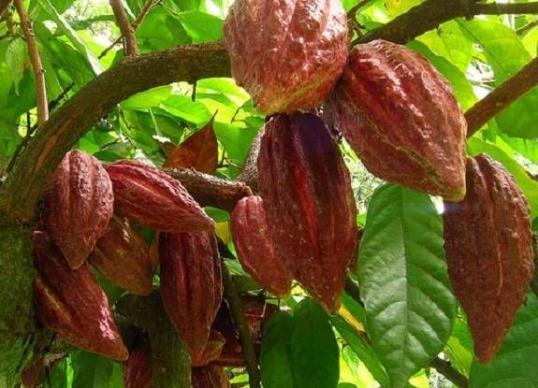 Чем полезно масло какао