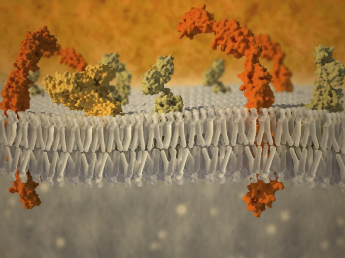 Строение и функции плазматических мембран