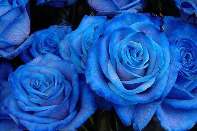 Что обозначает цвет роз