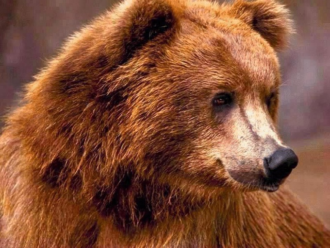 Чем питается бурый медведь