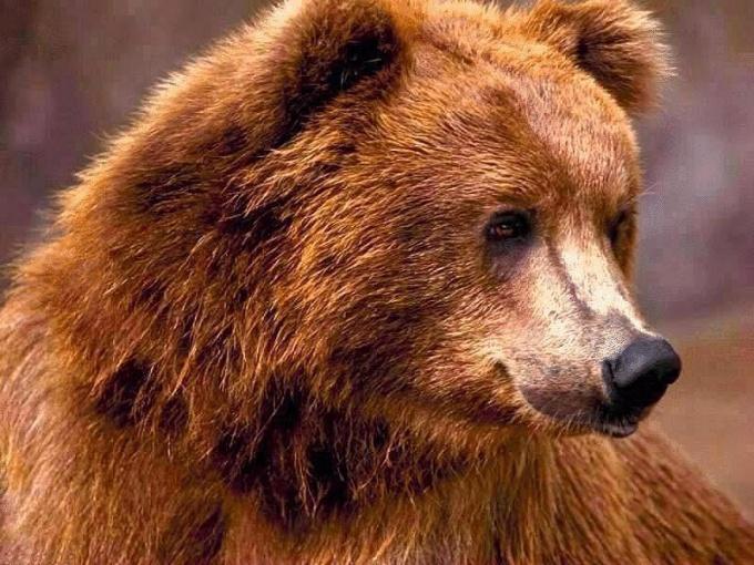 бурый медведь весной