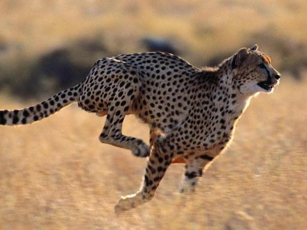 самые быстрые кошачьи