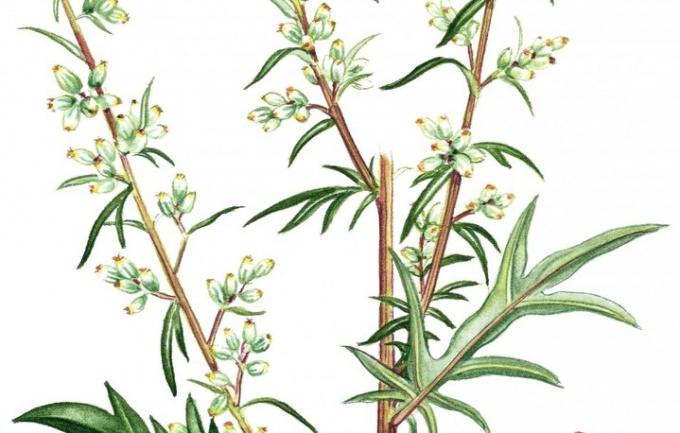 Harm and benefits of motherwort
