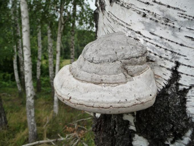 Как можно использовать гриб трутовик