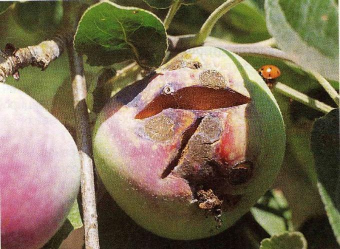 Чем обработать яблони от парши