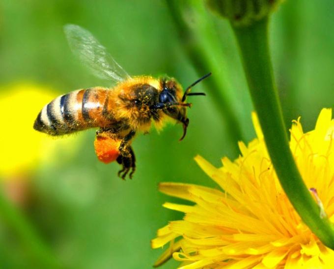 Как выглядит прополис пчелиный фото