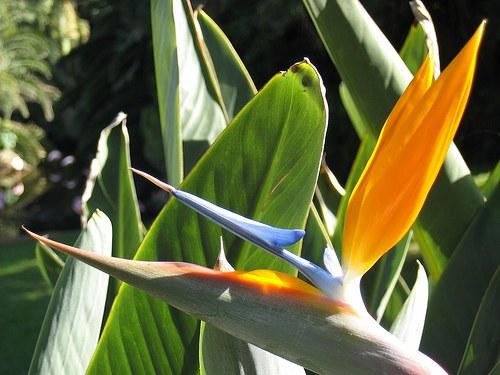 Как ухаживать за стрелицией,чтобы цветок зацвел
