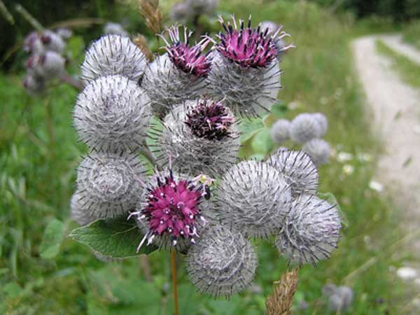 The useful benefits of burdock oil