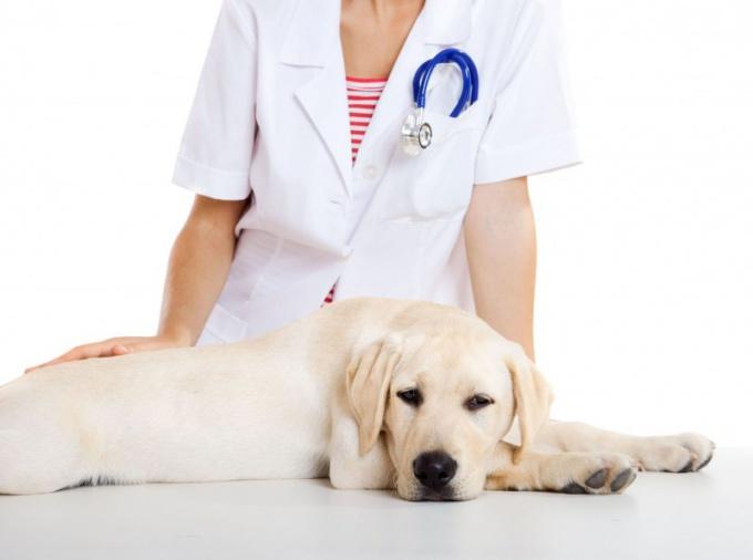 Как лечить ложную беременность у собаки