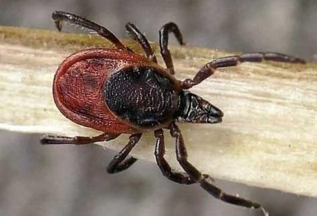 How to deter ticks, folk remedies