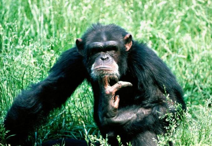 Руки у обезьяны длинные и крупные