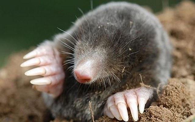 Why do moles dig holes