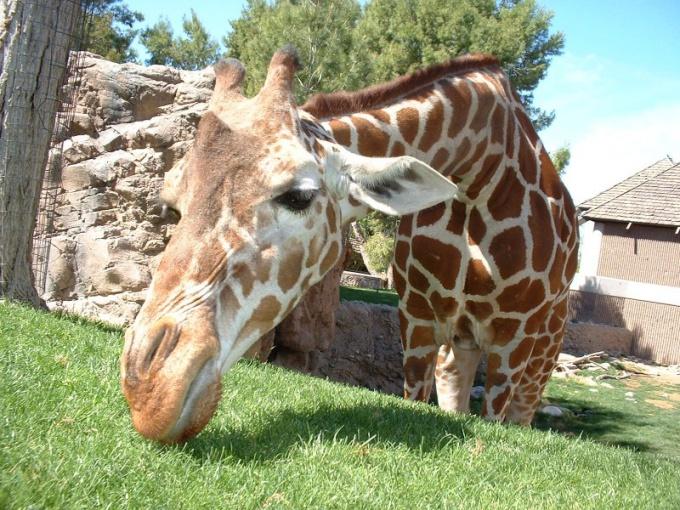 у жирафа синий язык