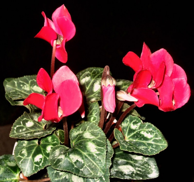 Why wither cyclamen
