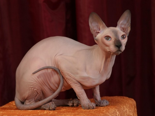 Откуда взялись лысые кошки