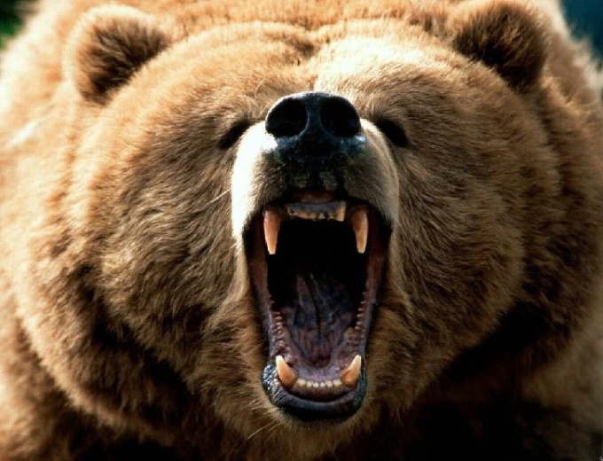 Чем полезен медвежий жир