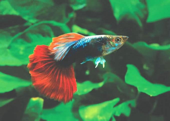 The most undemanding aquarium fish