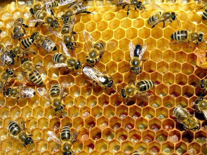 Как лечить щитовидную железу пчелиным подмором
