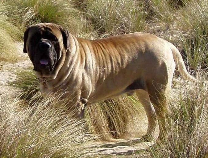 большая собака в мире и как называется