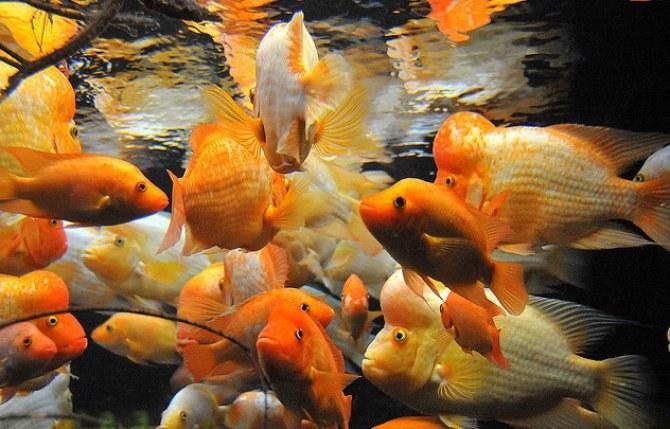 От чего зависит поведение аквариумных рыбок