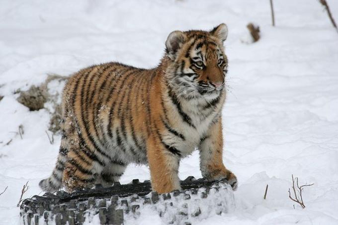 Сколько осталось особей амурского тигра