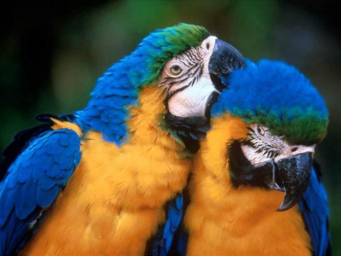 сколько живут разные попугаи