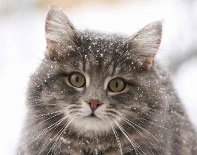 Какие самые красивые породы кошек