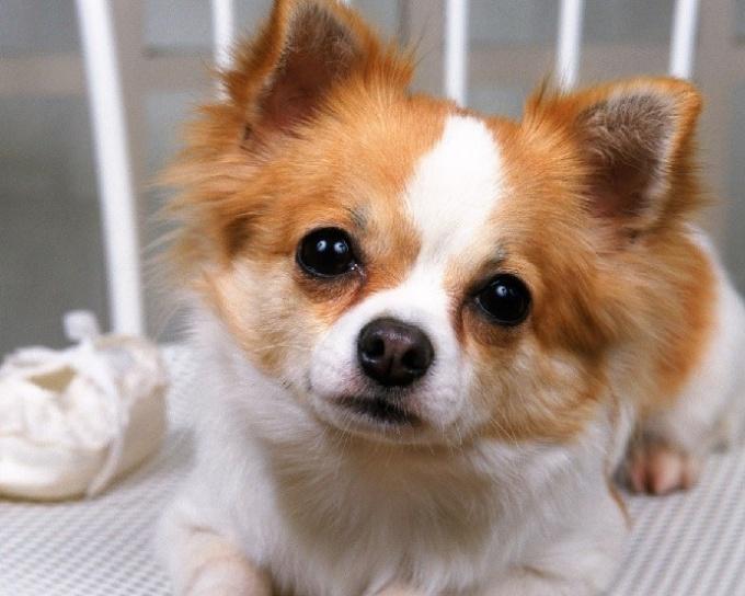 Why do Chihuahuas shiver