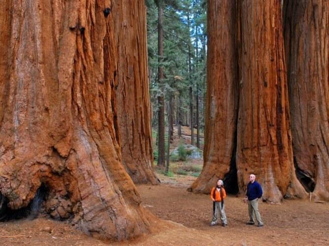 Какое самое высокое дерево на земле