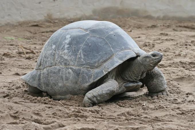 Сколько лет живет сухопутная черепаха