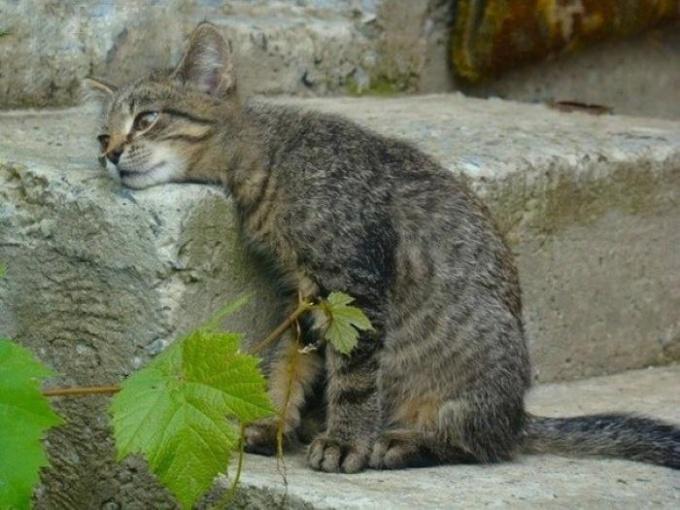 Вялое поведение кота