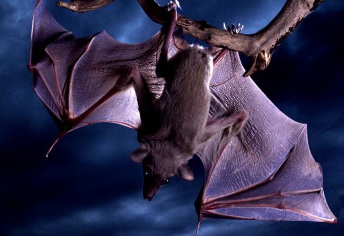 Летучие мыши - единственные летающие млекопитающие в мире