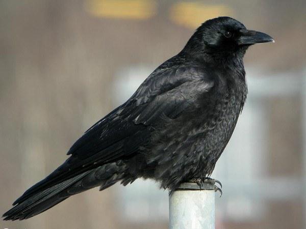 Ворона - одна из самых умых птиц