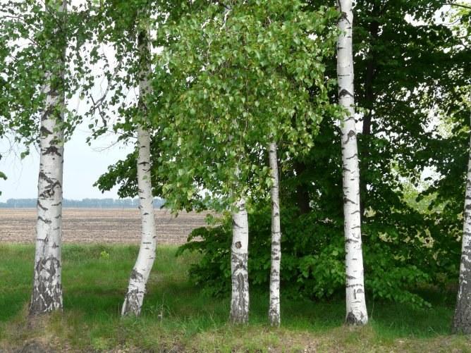Какое дерево в России самое распространенное